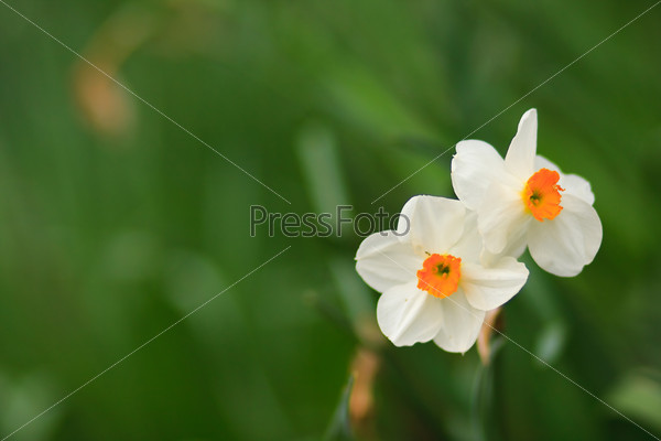 Two narcissuses on the green background