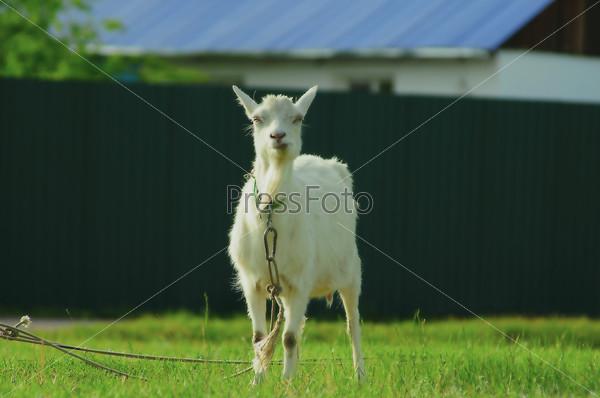 Домашняя коза на привязи