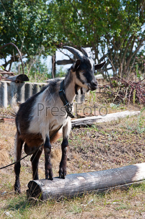 The goat in the village