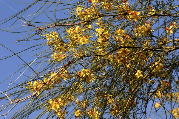 Паркинсония колючая, рarkinsonia aculeata