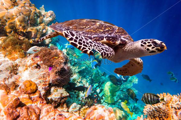 Hawksbill Turtle - Eretmochelys imbricata