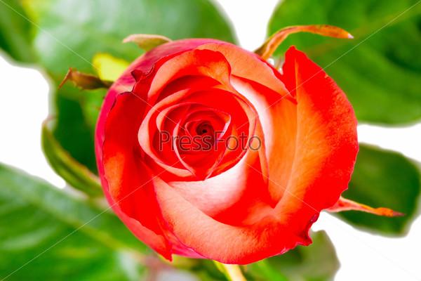 macro photography rosebud on a white background