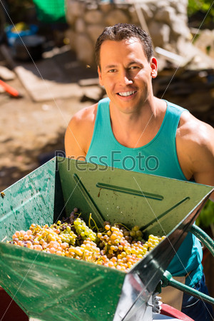 Man working with grape harvesting machine