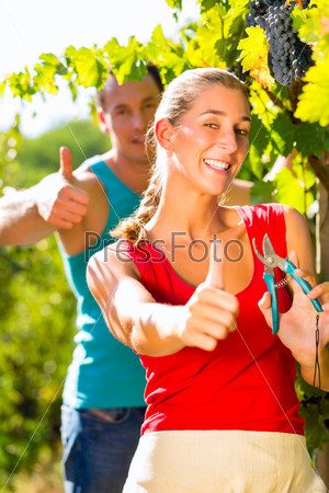 Woman and man winegrower picking grapes