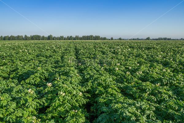 Картофельное поле летом