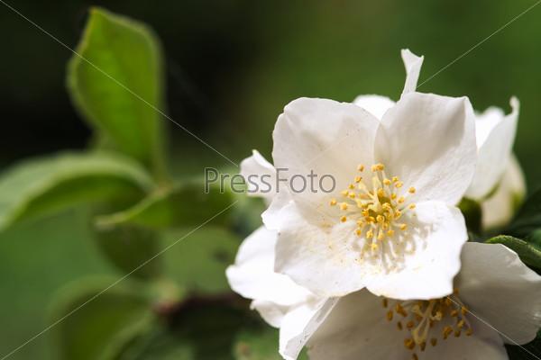 Beautiful jasmine white flowers, summer time photo
