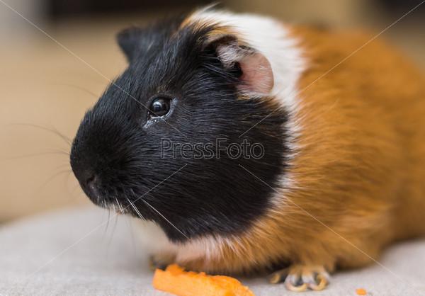 Морская свинка ест морковь