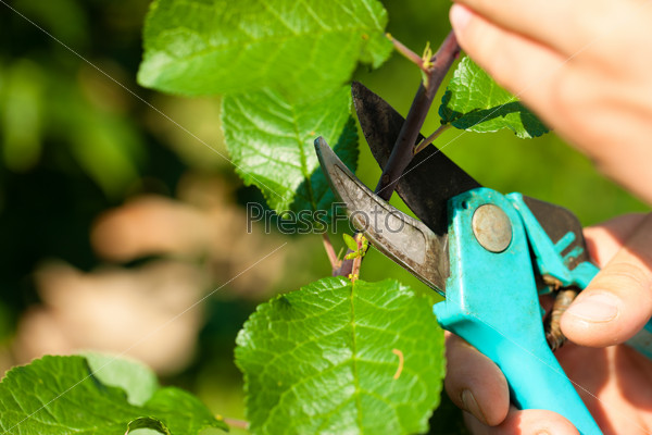 Man is cutting fruit tree with trimmer