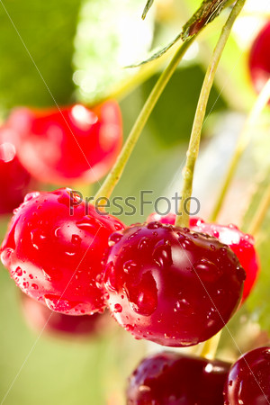 Cherries on a branch