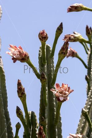 Кактус цереус (Cereus jamacaru) на фоне неба