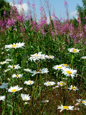Camomile flowers and fireweed
