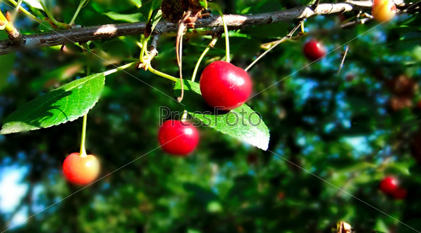 Cherry on the branch