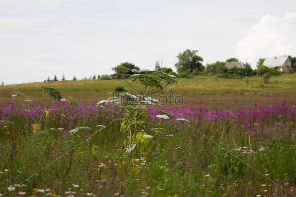 Heracleum sosnowskyi on the field