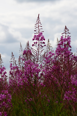 Some flowers Rosebay Willowherb or Fireweed