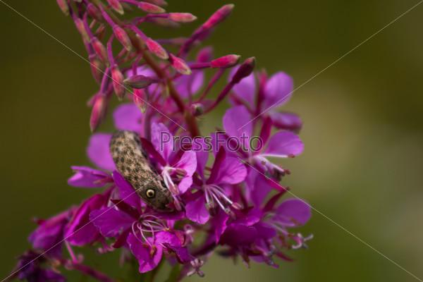False eyes caterpillars living on Fireweed