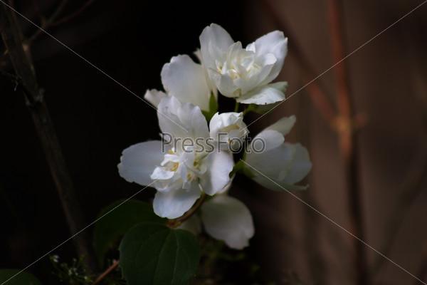 White flowers Philadelphus