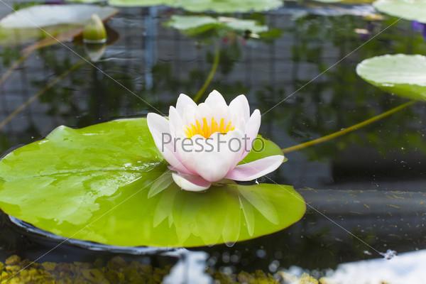 delicate pink lotus