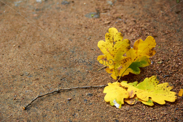 oak leaf on the path