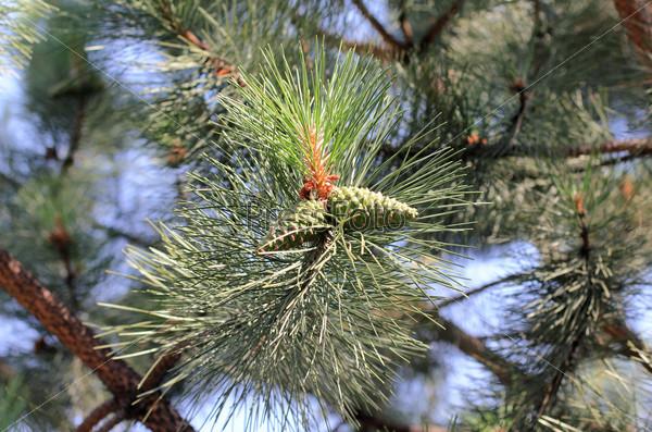 Ветка сосны с зелеными шишками