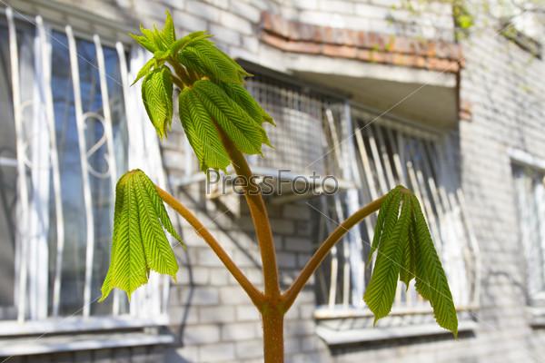 Молодые листья каштана