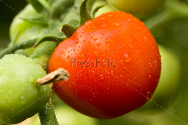 Red tomato in a garden