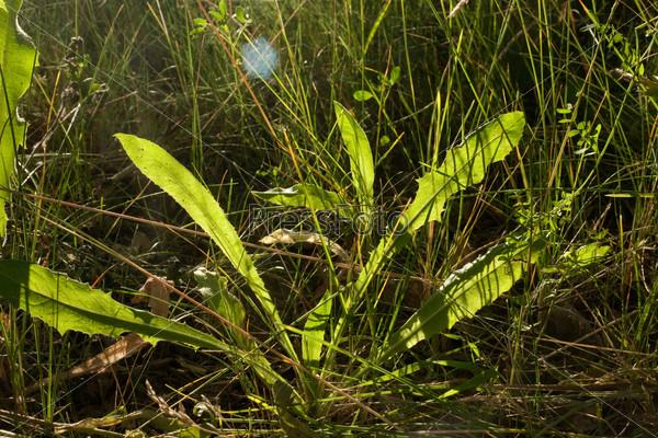 Светящиеся листья одуванчика