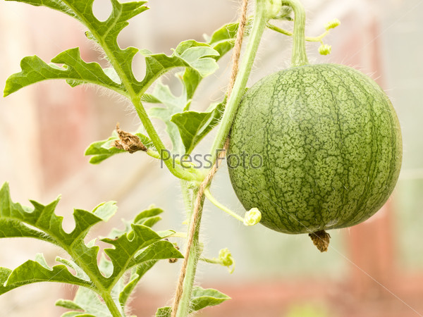 Growing watermelon in greenhouse