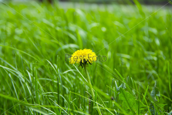 Green grass and dandelion