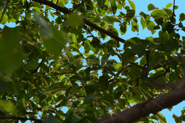 Green leaves and brown branches of a tree