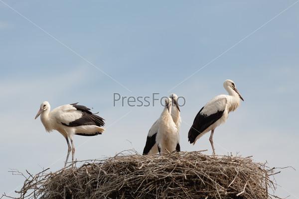 Птенцы белого аиста в гнезде