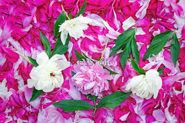 Petals of peonies in a large number, flowers and leaves of peoni