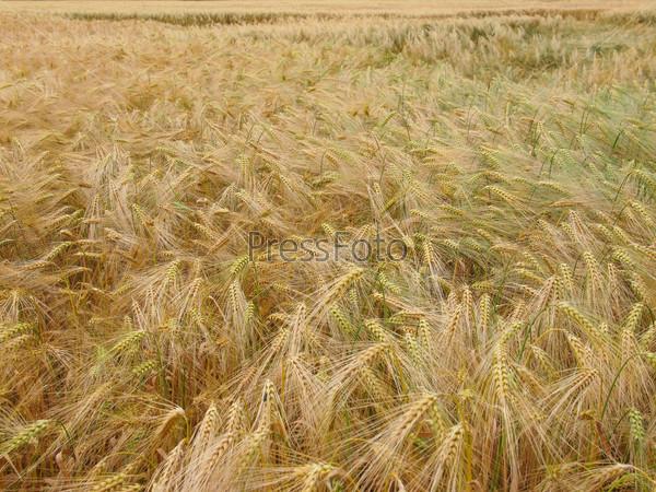 Barleycorn field
