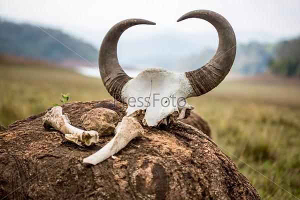 Gaur - Indian bison, skull and bones