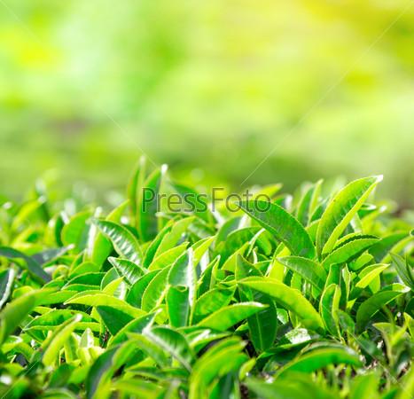 Close up of tea leaves. Tea plantations in India
