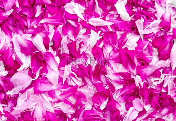 Petals of peonies in a large number, (the background image).