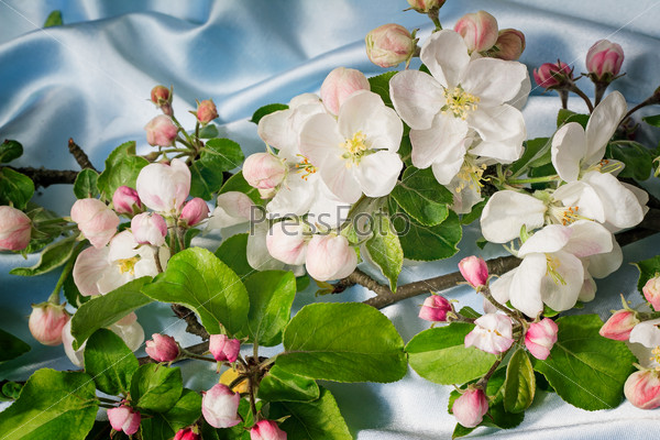 Apple-tree branch with gentle light pink flowers, buds and leave
