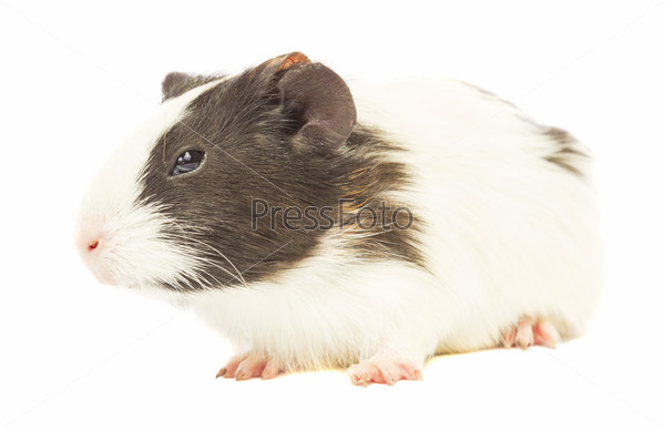guinea pig sniffing