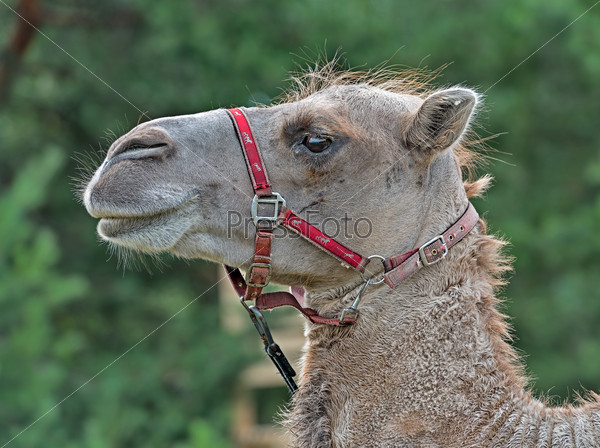 The head of a camel.