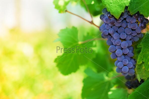 Midday in vineyard
