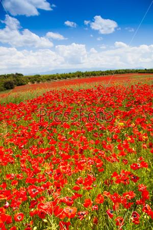 Huge red poppy flowers field