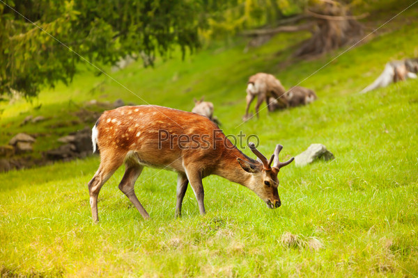 Grazing deer