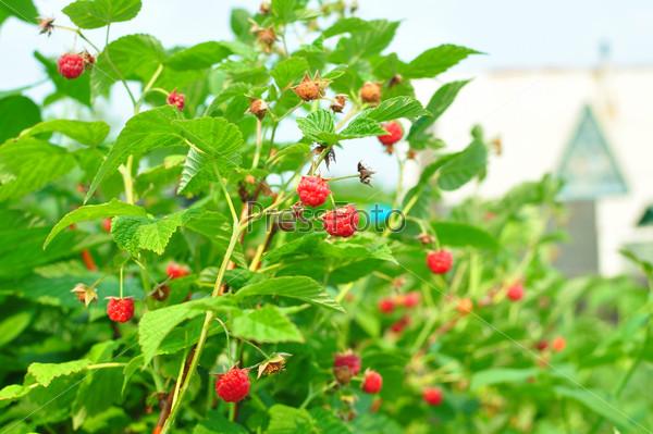 Кусты малины