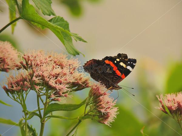 Красивая бабочка Адмирал (vanessa atalanta)  сидит на цветке.