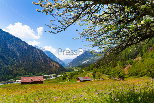 Sunny flowers field near Swiss mountains