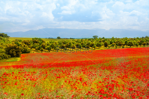 Poppy flowers field in Provance
