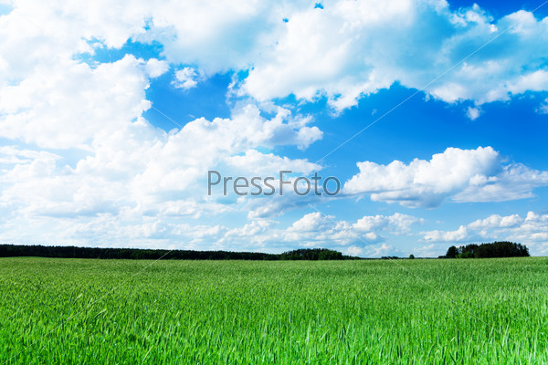 Wheat green field at spring