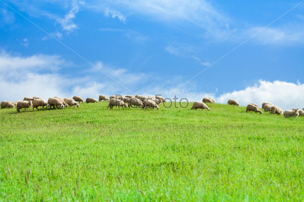 Herd of sheep in sheep over blue sky