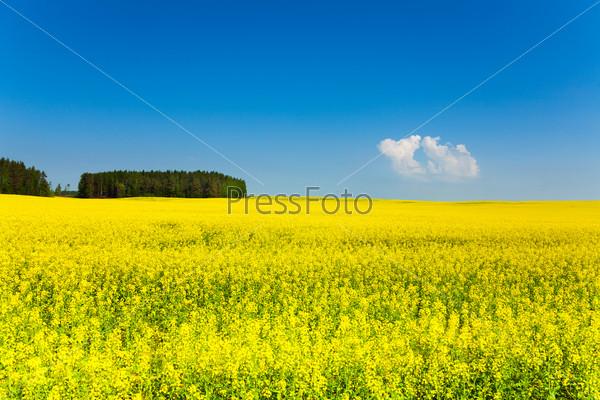 Spring yellow fields in Belarus