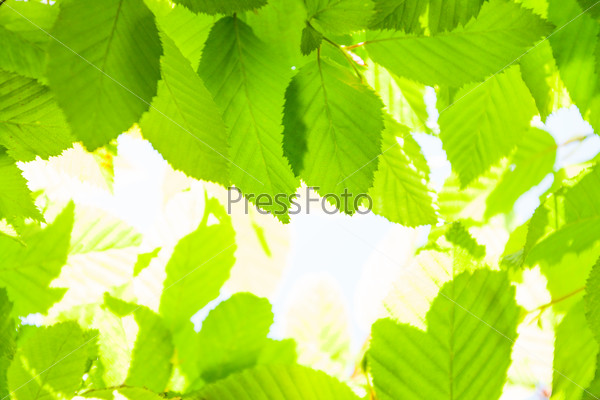 Spring fresh young leaves