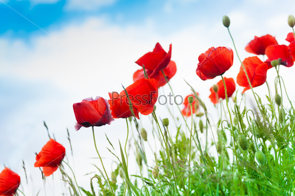 Red poppy flowers close-up over sky